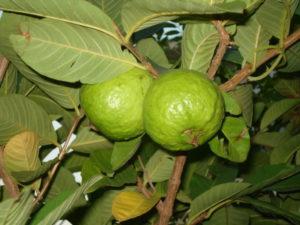 Guava – Krishi Helpline