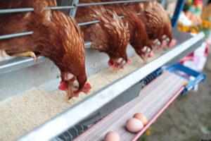 Poultry Farming – Krishi Helpline